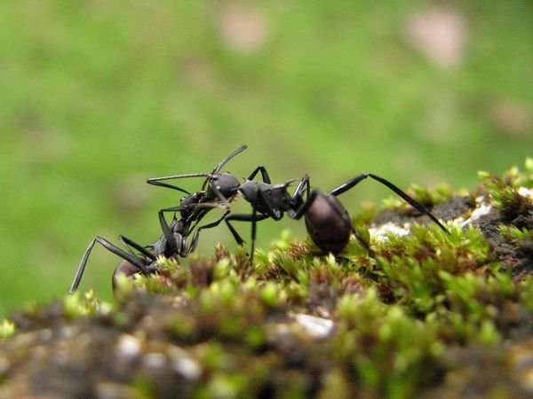 Ant Fighting